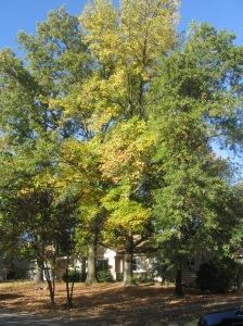 Kirkwood Fall Trees